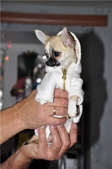 Как сделать одежду собаки чихуахуа для своими руками